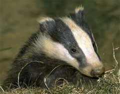 Mortally curious badger